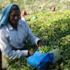 Munnar's Memorable Tata Tea Plantation